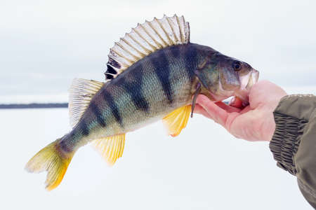 predator fish perch in the fisherman hand close up concept of fishing. selective focus