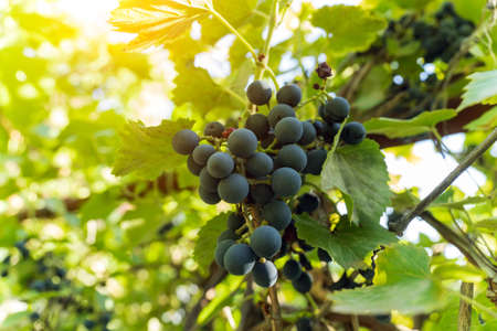 Bunch of black grapes on the vine. Close up view of fresh red wine grape in the farm.