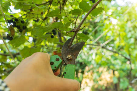 Winegrower pruning a vine with a garden secateurs in the autumn vineyard. Close up. Selective focus