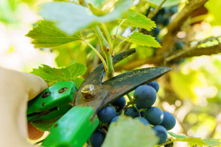 Pruning of a cultivar vine with garden secateurs in the autumn vineyard. Selective focus Banque d'images