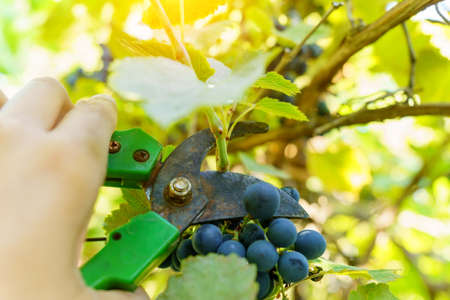 Man harvesting white grapes, organic food and fine wine handmade. Selective focus