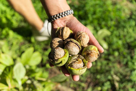 Fresh Uncleaned green walnuts in the hands of a male farmer, close-up. Selective focus