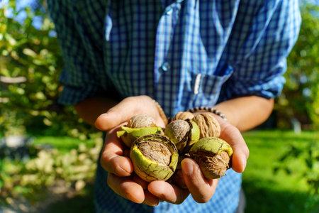 Green ripe walnut in hand. Fruits of a walnut. Raw walnuts in a green nutshell.