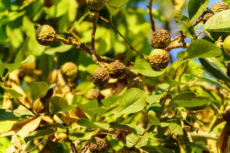 Walnut is the nut of any tree of the genus Juglans Family Juglandaceae, Juglans regia.