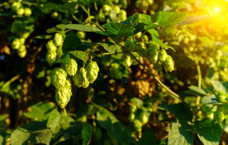 Fresh hop cones for making beer and bread close-up, agricultural background. Selective focus. Copy Space Banque d'images