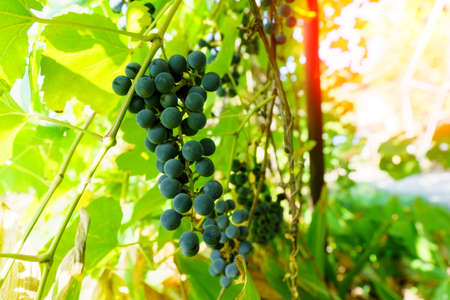 Black grapes on the branches of the vineyard close-up. Selective focus. Grape growing and wine making