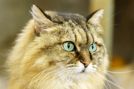Portrait of a fluffy Siberian cat in close-up. Selective focus. Dark background