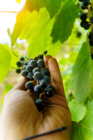 Bunch of black grapes on the vine. Close up view of fresh red wine grape in the farm. Vertical photo