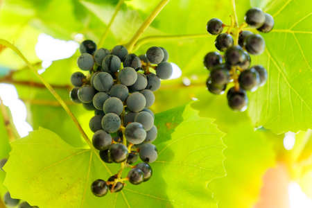 Ripe grapes on vine growing in a vineyard at sunset time, selective focus, copy space