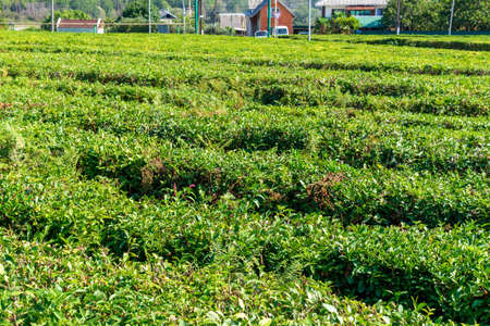 Green tea on a sunny day,tea plantation natural background. Banque d'images