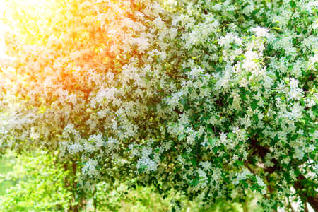 Blooming white apple tree flowers in spring background, bright sunny day. selective focus Banque d'images