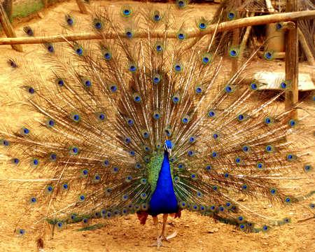 peacock wheel: Wheel of a peacock