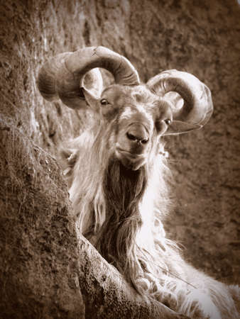 Billy goat photo