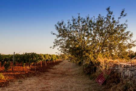 agriturismo: Tree looking over vineyard