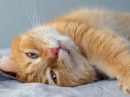 cute funny ginger cat lies on a gray blanket and stretches after sleep, opening his eyes