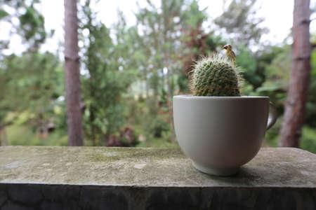 insular: cactus in white cup