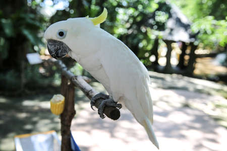 animalia: Cockatoo at at bird park., Khonkaen Zoo Thailand. a parrot with an erectile crest, found in Australia, eastern Indonesia, and neighboring islands. Stock Photo