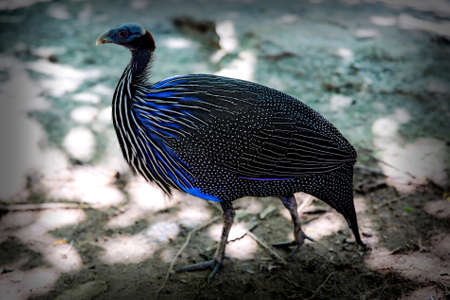 game bird: pheasant at bird park., Khonkaen Zoo Thailand a large long-tailed game bird native to Asia, the male of which typically has very showy plumage.I watched lapwings competing for nest sites on the damp fields where I also saw pheasants , grey partridges, tea Stock Photo