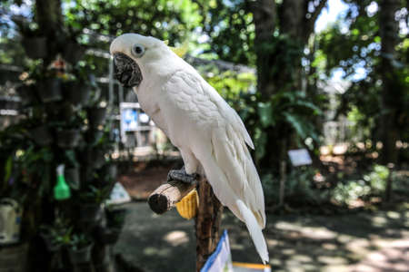 nipper: Cockatoo at at bird park., Khonkaen Zoo Thailand. a parrot with an erectile crest, found in Australia, eastern Indonesia, and neighboring islands. Stock Photo