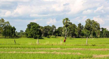 cornfield: farmer in cornfield., Thailand. Stock Photo