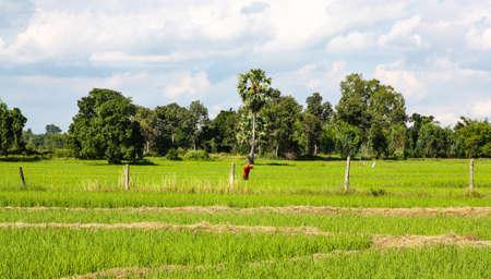 champ de mais: agriculteur champ de maïs., Thaïlande.