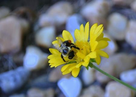bee on yellow flower in the summer Zdjęcie Seryjne