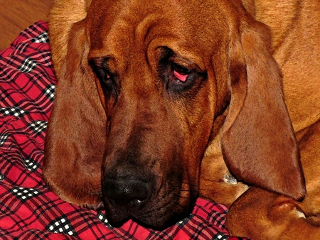 bloodhound resting                                Stock Photo - 12892341