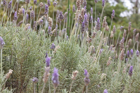 crocket: Beautiful lavender in the biome diversity of the botanical garden.