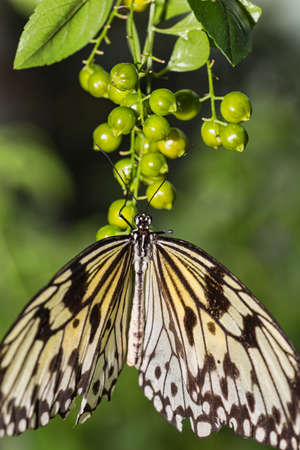paper kites: Close up of a Rice Paper Butterfly on flower buds.