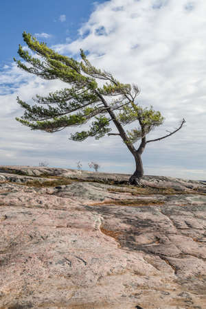 swept: Wind Swept Tree on Georgian Bay, a Group Of Seven inspiration.