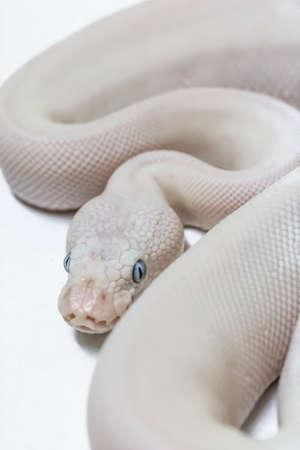 royal python: Royal Ball Python, Blue Eyed Leucistic mutation, pet. Stock Photo