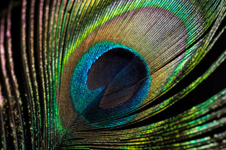 peacock eye: The eye of the Peacock feather, close up.