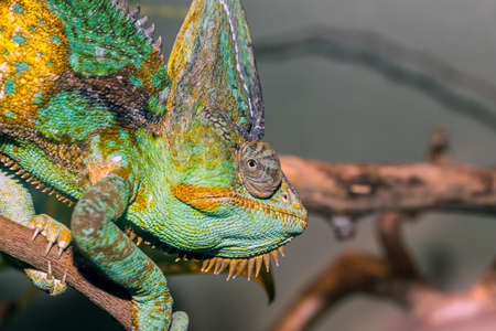 africa chameleon: Cameleon climbing a branch, at local zoo.