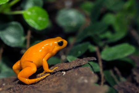 A tiny orange Poison Dart Frog, at the local zoo. Stock Photo