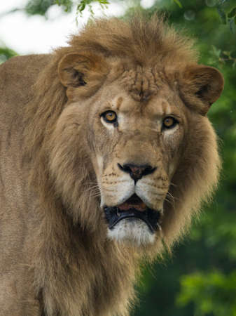 Close up of a male Lion at the local zoo, staring at the camera. 免版税图像