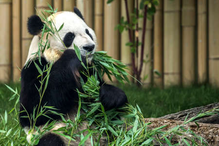 oso panda: Panda gigante en el zoológico local, comiendo brotes de bambú.
