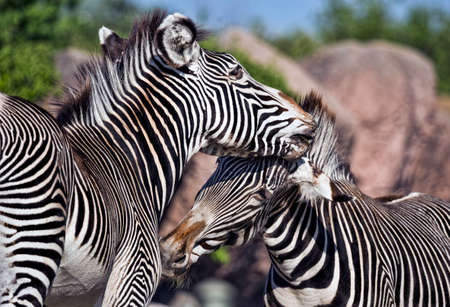 Zebras at play at the local zoo. Stock Photo