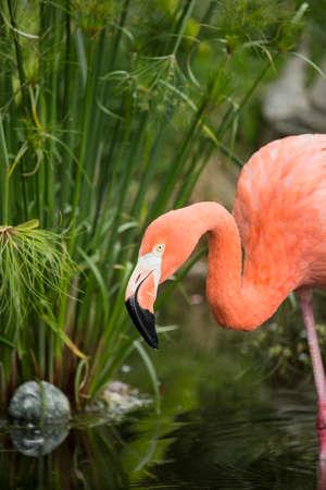 florida flamingo: An Amercian Flamingo at the local zoo.