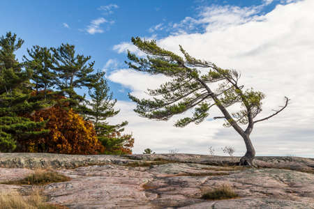 provincial forest parks: Wind Swept Tree on Georgian Bay, a Group Of Seven inspiration.