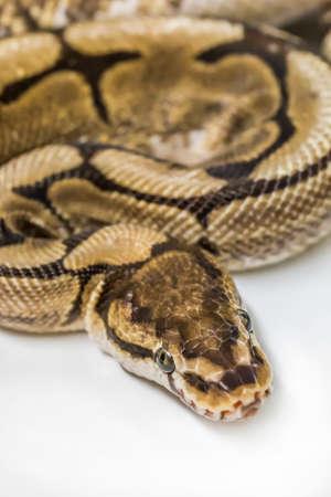 ball python: Royal Ball Python, Spider mutation, pet.