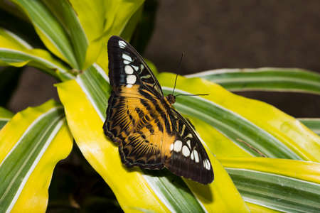 paper kites: A brown Clipper Butterfly with wings outstretched.