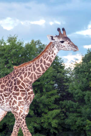 girafe: One of the Giraffes at the local zoo, walking.