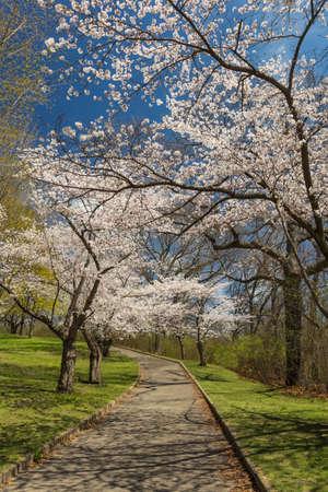 high park: Pink Sakuras along the path at High Park.