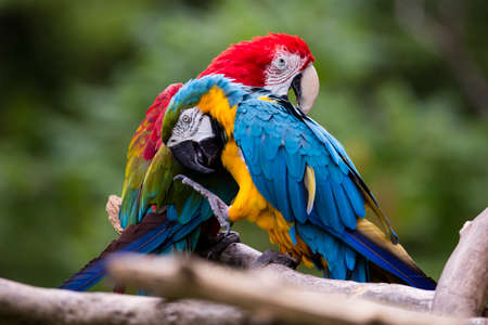 A bonded pair of Blue and Gold Macaws preening, pets. 스톡 콘텐츠