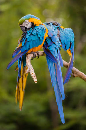 A bonded pair of Blue and Gold Macaws preening, pets. Stock Photo