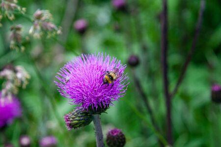 Bee on nice thistle flowers in full bloom