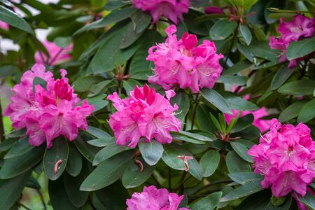 Nice flower of pink rhododendron in the garden