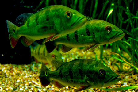 freshwater aquarium plants: perches in the aquarium