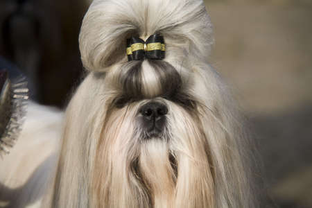 shih tzu: Shih Tzu Stock Photo