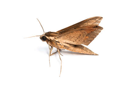 Closeup of the brown moth , isolated on white background. Standard-Bild